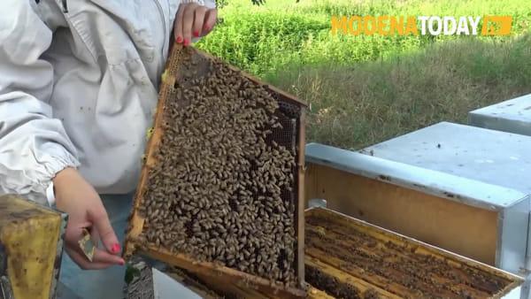 """Api a rischio e apicoltori lasciati da soli: """"Ci sono soluzioni, altrimenti è a rischio l'essere umano"""""""