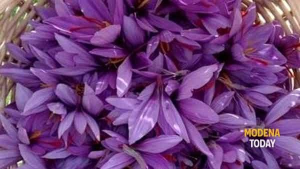 levizzano rangone: la fioritura del crocus sativus, colazione in uno zafferaneto-3